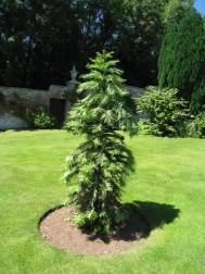 wollemy-pine